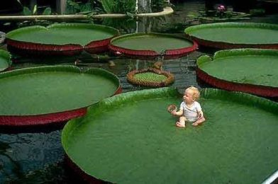 victoria-amazonica-giant-waterlily-seed-professional-pack-5-seeds-pack-rare-giant-lotus-aquatic-plant-e3485